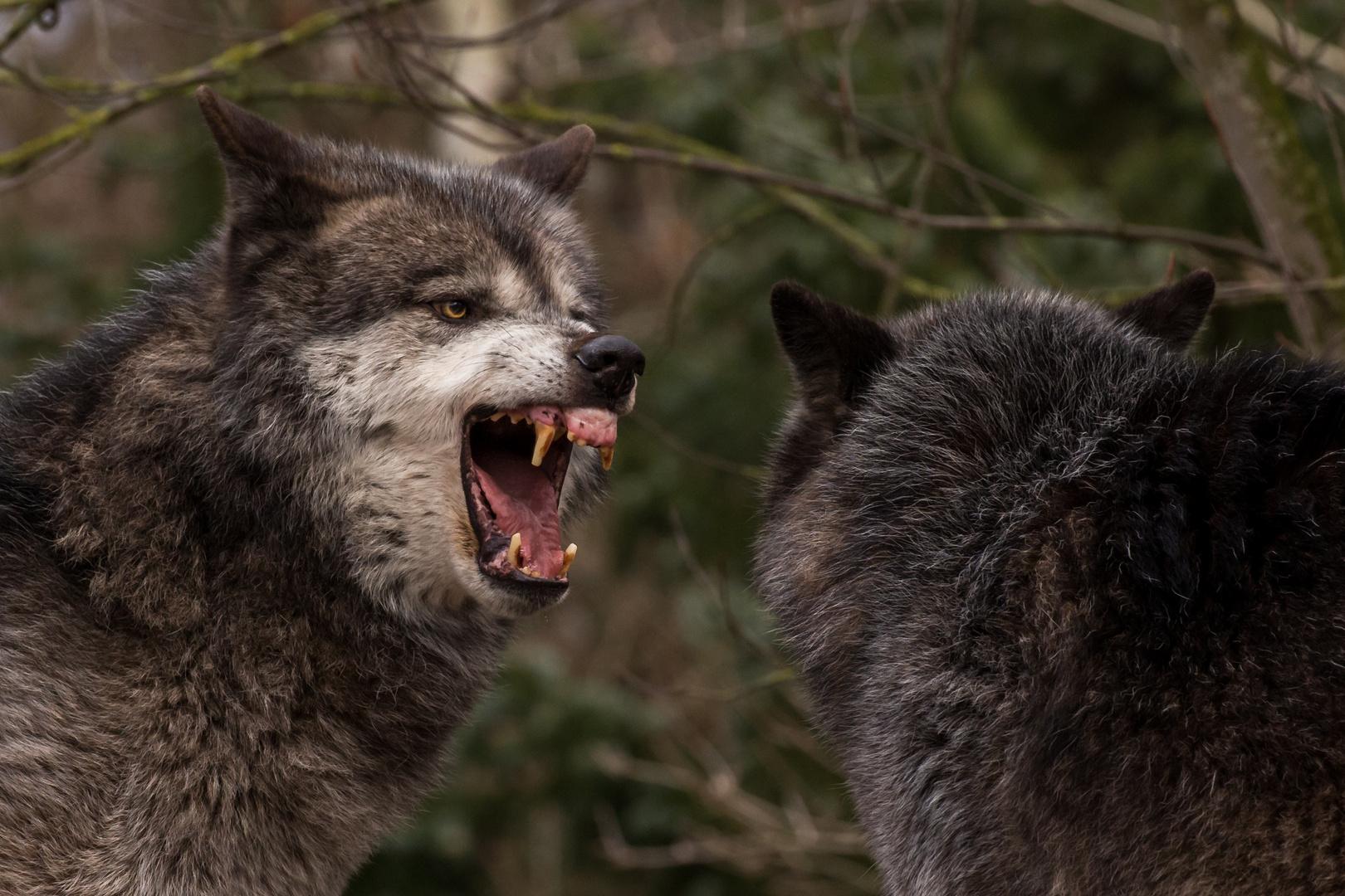 Timberwolf im Zoo Hannover