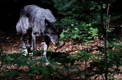 Timberwolf vom Ardetzenberg