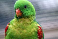 Timor-Rotflügelsittich