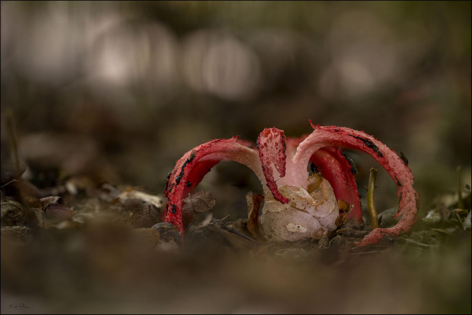 Tintenfischpilz (Clathrus archeri)