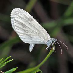 Tintenfleck-Weissling (Leptidea), Weibchen *