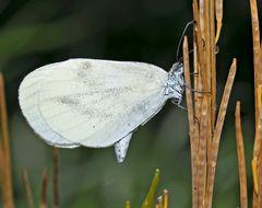 Tintenfleck-Weissling, Senfweissling (Leptidea sinapis) - Piéride de la moutarde.