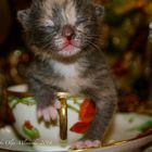 Tiny Calico Cat
