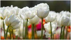 tip toe thru the tulips