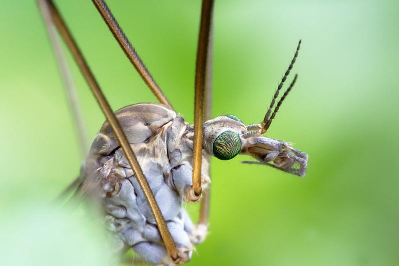 Tipula oleracea