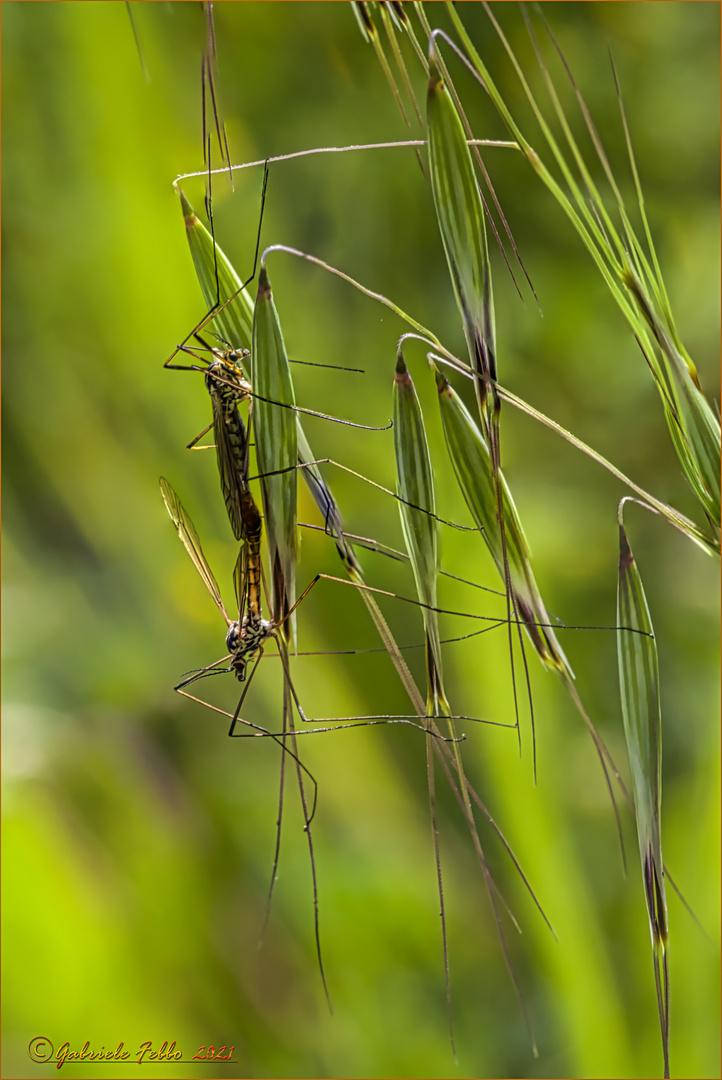 Tipula vernalis Meigen, 1804