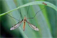 Tipule et fourmi (Tipula vernalis mâle)
