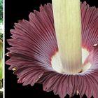Titanenwurzblüte mit Größenvergleich 3