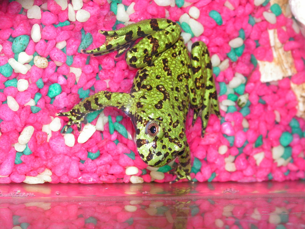 tite grenouille domestique