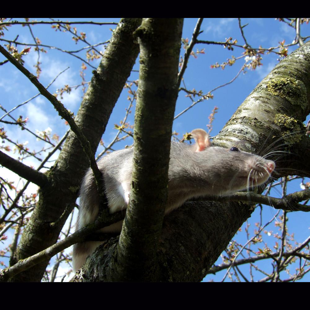Titiote se promène dans le cerisier