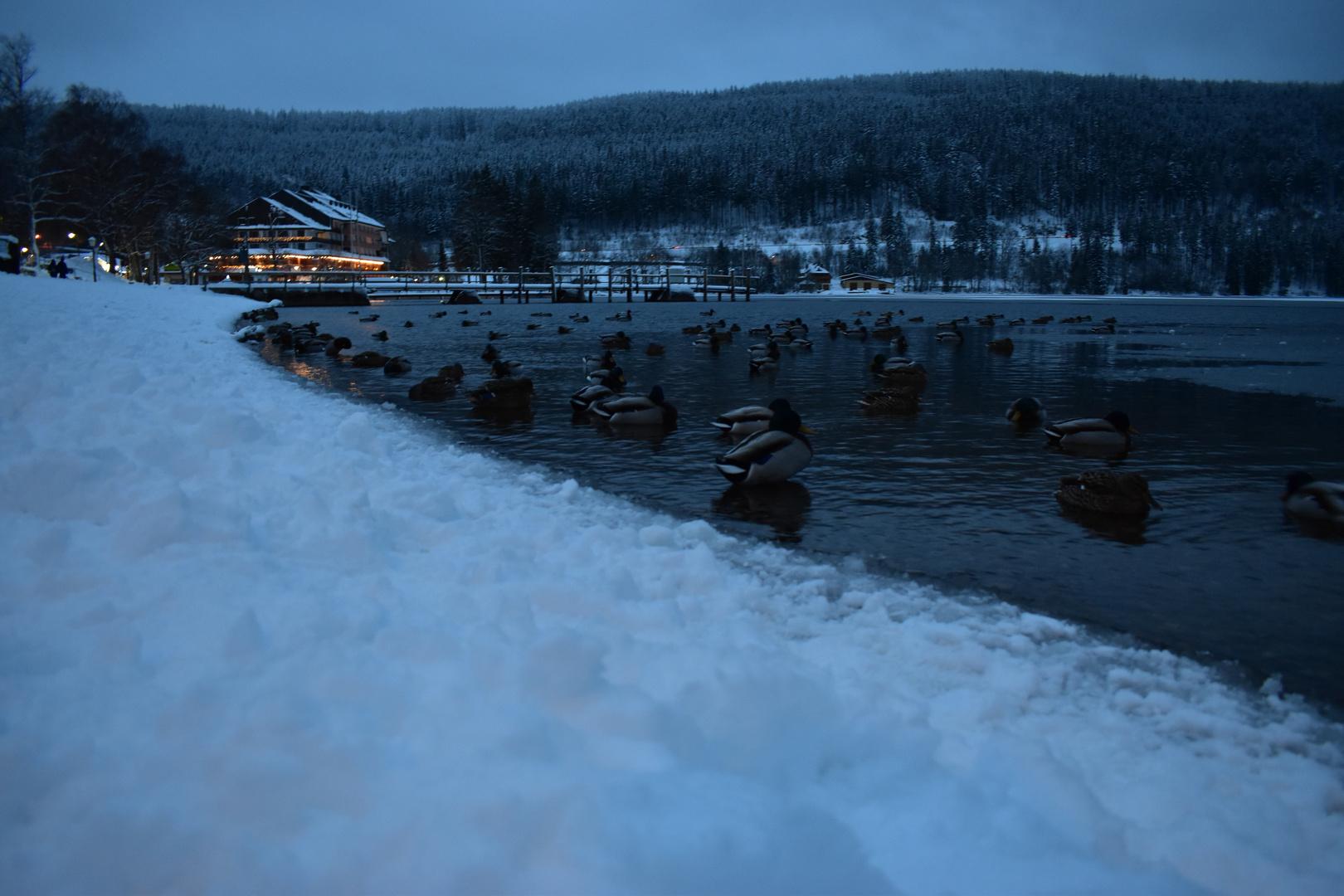 Titisee Neustadt Foto Bild Tiere Wildlife Jahreszeiten Bilder Auf Fotocommunity