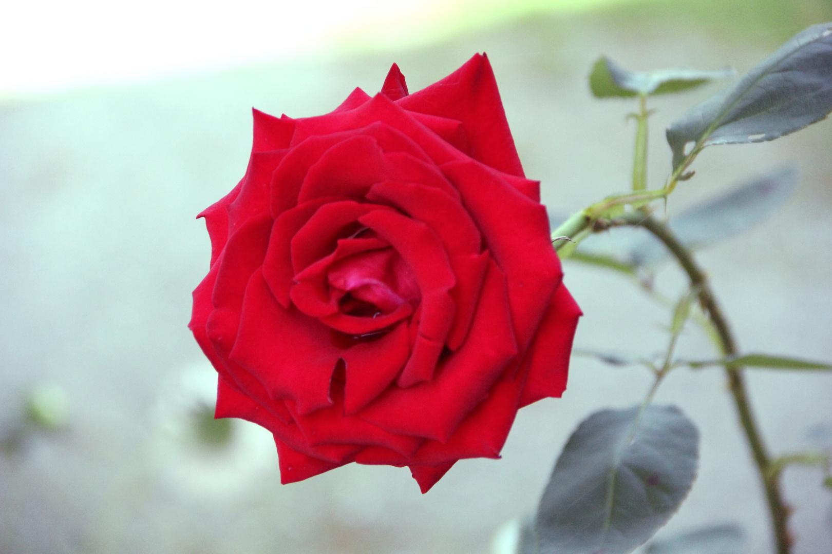 Tja, die klassische Rose - passt immer :)