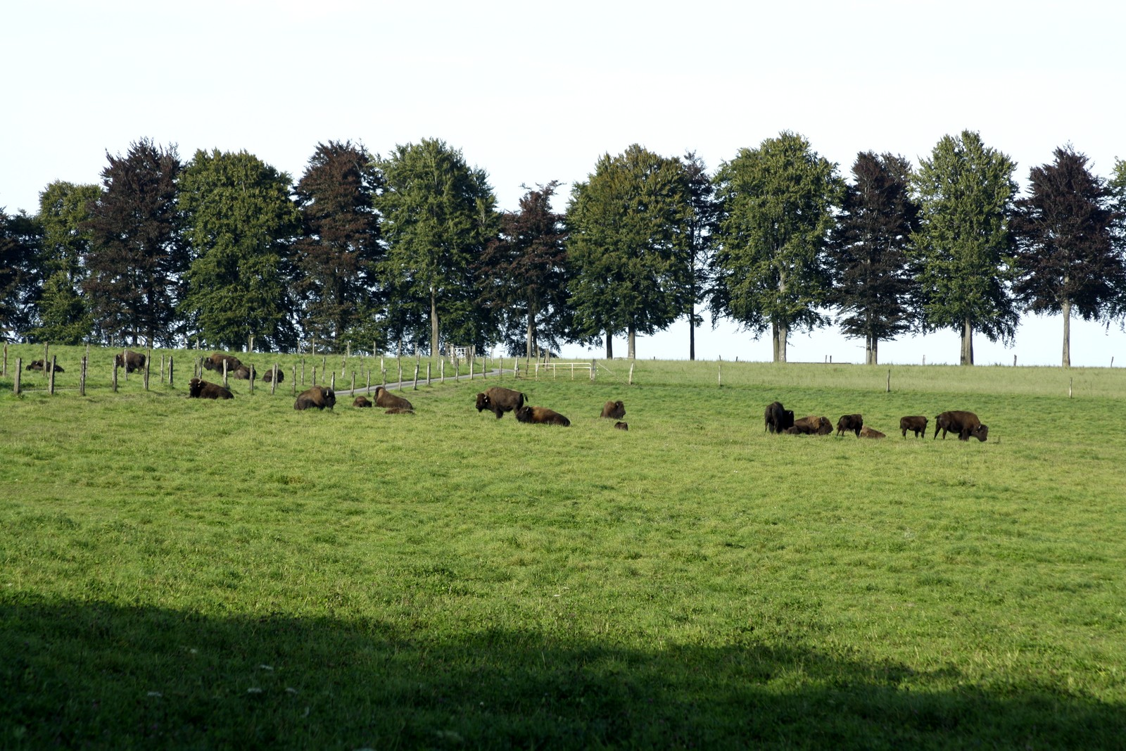 tjs des bisons