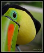 Toc toc toucan