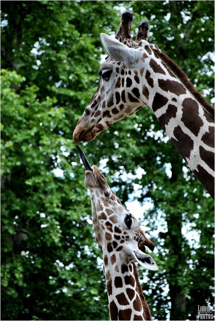 Tochter Giraffe hätte gern von Mama Giraffe was zu futtern..
