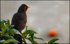 Today I saw a blackbird