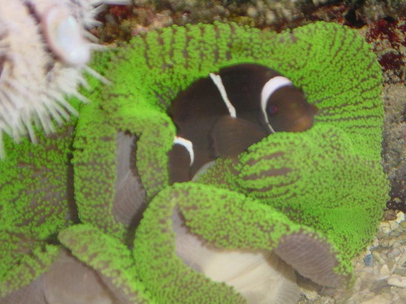 Toffey der Samtanemonenfisch in seiner neuen Anemone