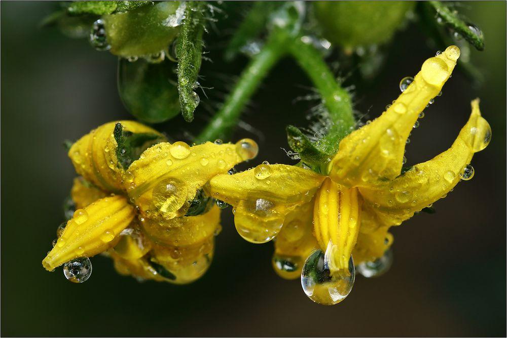 Tomaten-Blüten...