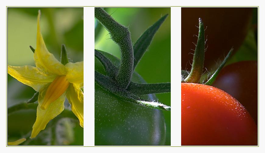 Tomaten hoch Drei