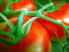 Tomaten imFarbenspiel