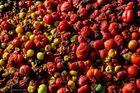 Tomatenkompost