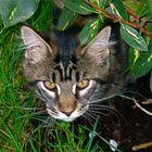 Tomcat Nepomuk under a bush :.: Kater Nepomuk unter einem Busch