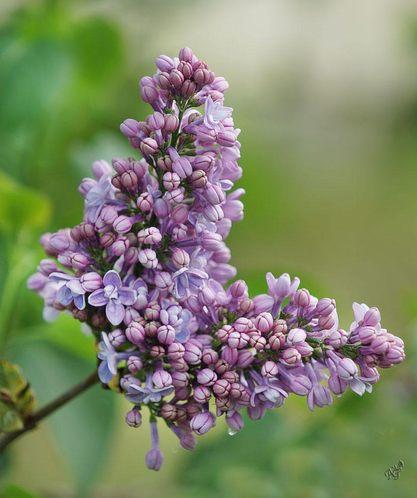 Ton doux parfum embaume le jardin ... photo et image ...