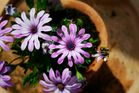 Topf-Blume
