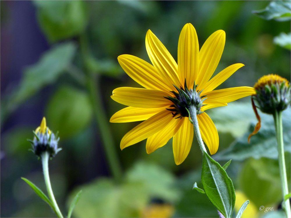 topinambur foto bild gelb natur pflanzen bilder auf fotocommunity. Black Bedroom Furniture Sets. Home Design Ideas