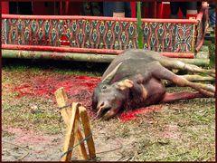 Toraja Totenfeier- Büffelopfer
