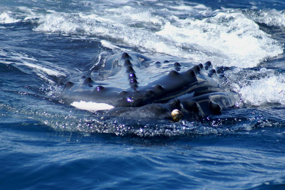torpedo...