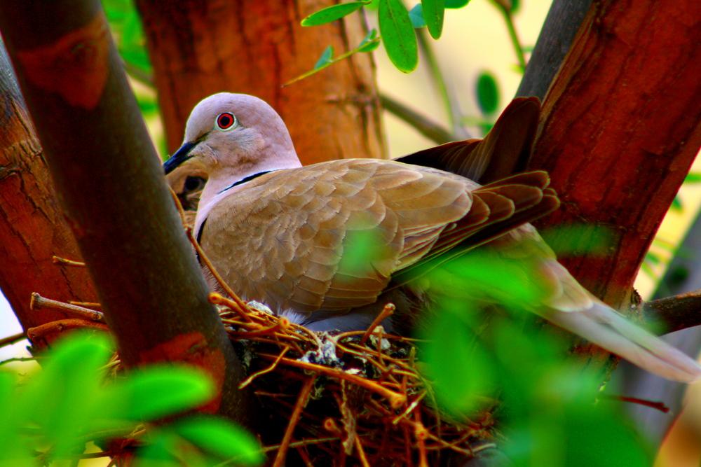 tortola en su nido