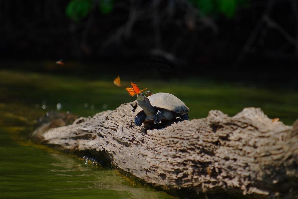 Tortue du lac Sandoval, Madre de Dios, Pérou