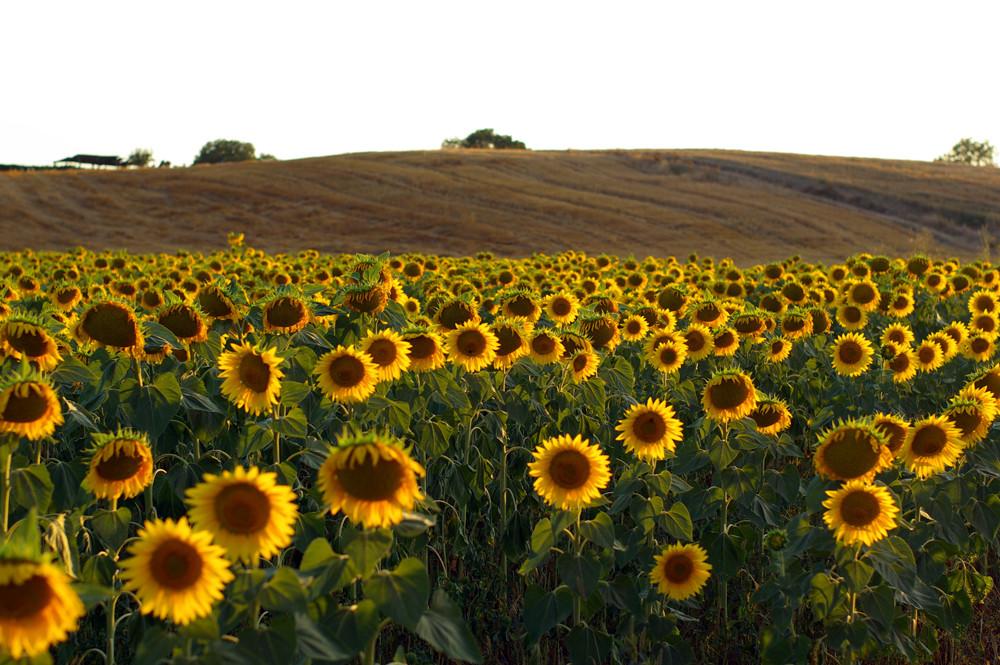 Toscana Sunflower