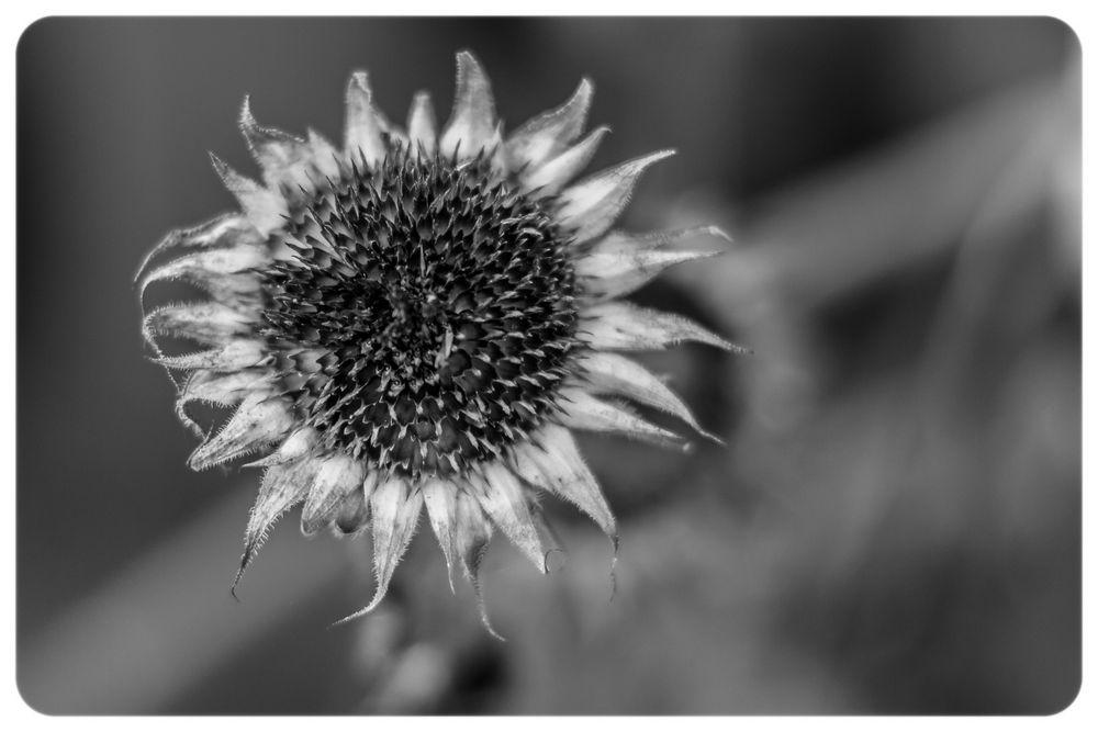 tote Sonnenblume