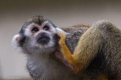 Totenkopfäffchen - Squirrel monkey (Saimiri sciureus)