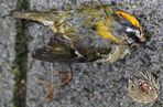 Totes Sommergoldhähnchen