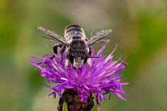 Totholz-Blattschneiderbiene oder Große Garten-Blattschneiderbiene