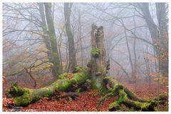 -- Totholz im Urwald Sababurg -- ( Reinhardswald )