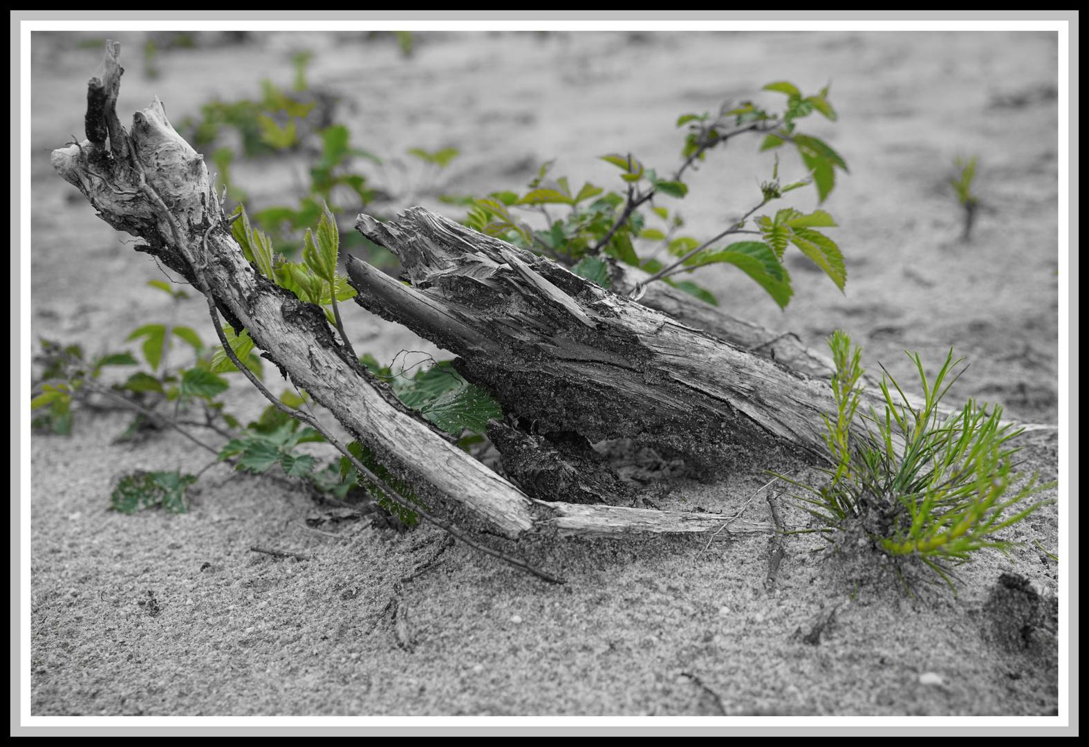 Totholz mit neuem Grün ( Maasdünen)