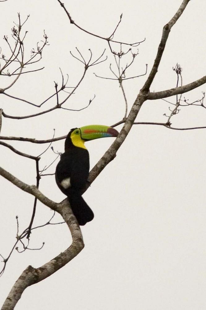 Toucan (Costa Rica)
