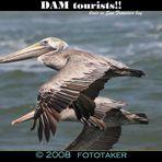 Tourist Pelicans
