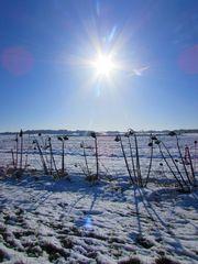 ...Tournesols en hiver..
