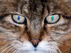 Tout comme David Bowie il a un oeil Bleu et un vert ou plutôt la pupille !