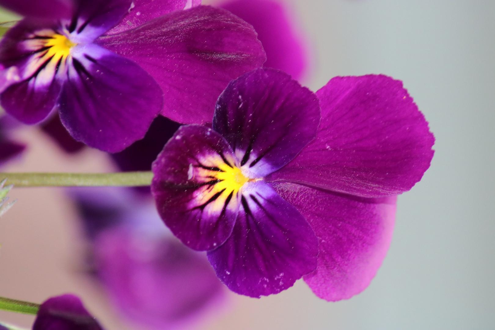 Tout de violet vêtu....