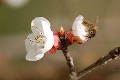 Tra i fiori d'albicocco