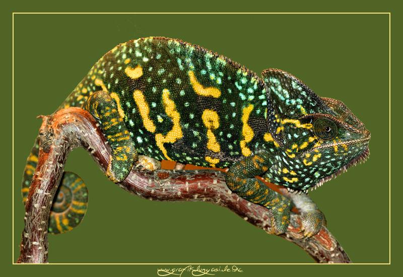 Trächtiges Weibchen Chamaeleo calyptratus