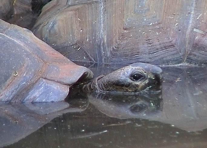 Träge tümmelnde Riesenschildkröte
