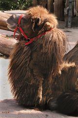 Träges Kamel in der Mittagssonne