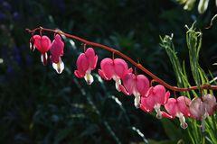 tränende Herzen haben nicht nur Blumen